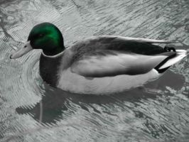 Duck, Central Park by AutumnBreezeSymphony