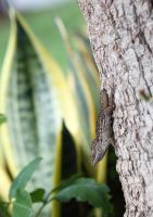 Ready to fight! Anolis sagrei by bugadrienne