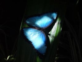 blue butterfly by penguinrock