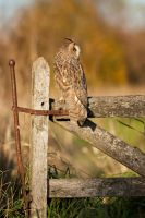 The resting owl by AngiWallace