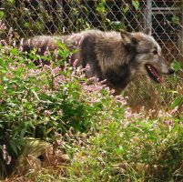 Wolf and Flower 2 by Angelos-Griever