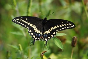 Butterfly at Possum Creek Park by sylva
