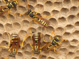 Wasps by Maltese-Naturalist