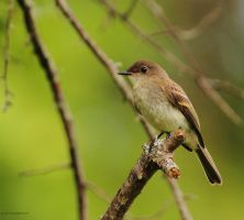 Young Eastern Phoebe by natureguy
