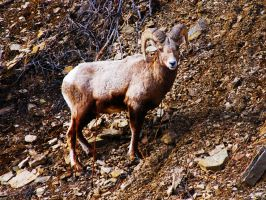 Wild Big Horn Sheep by Stock-by-Kai