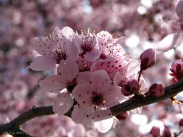 Spring Blossom - Pink 1 by SurfTiki