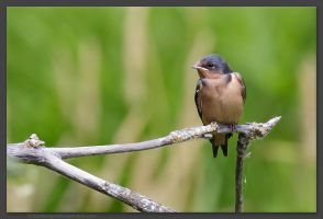 Young Barn Swallow by kootenayphotos