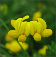 'Bird's-foot Trefoil' by WaitingForTheWorms