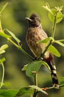 Red Vented Bulbul by Prabhjot-Singh