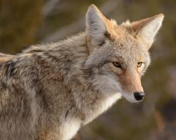 Coyote Portrait by Canislupuscorax