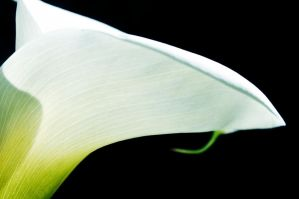 Zantedeschia Aethiopica by DemonstratiRegimine