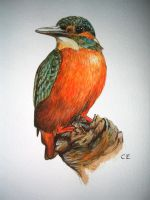 kingfisher by delph-ambi
