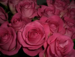 roses stock by newsmaus