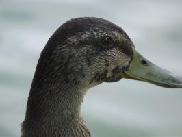 Duck- Close up Head by folipoo