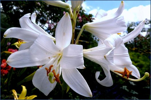 White Lily by Lupsiberg