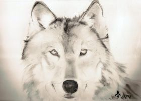 Wolf by k1216