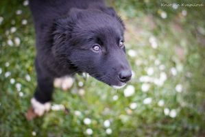 Border collie puppy Screen :) by KristynaKvapilova