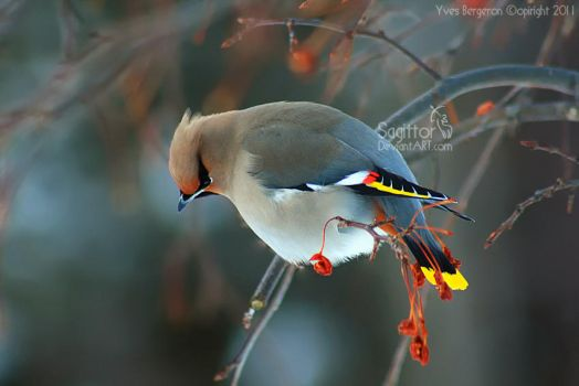 Bohemian Waxwing by Sagittor