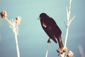 Red-Winged Blackbird by sevenlesserevils