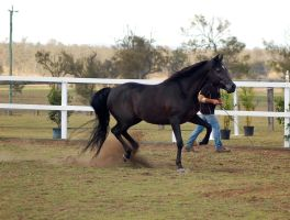 GE Arab black stopping from canter by Chunga-Stock