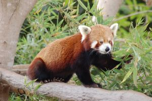 Red panda 11 by Chunga-Stock