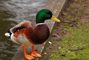 Model Mallard. by quaddie