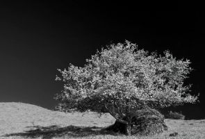 Infrared tree blossom by lica20