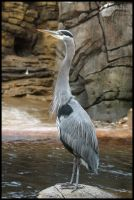 Great Blue Heron 2 by HarbingerPhotography