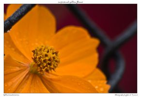 imprisoned yellow flower by yellowcaseartist