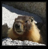Marmot by Crooty