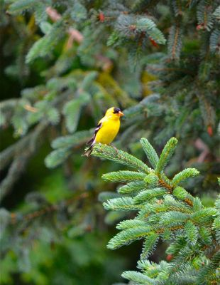 Goldfinch on Spruce by Ahopper1996