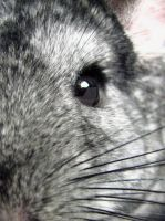 Chinchilla Face by KAKruger