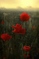 Poppies IVU by Callu