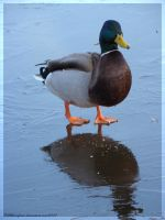Duck on ice by sillverrfoxx