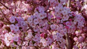 Blossoms III by PamplemousseCeil