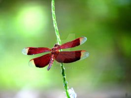 Dragonfly by Gisi118