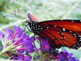 Butterfly 3 1063 by EchoingDroplet