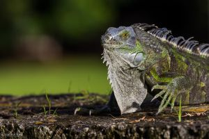 Iguana on the move by LordMajestros