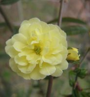 yellow rosaceae 06 by CotyStock