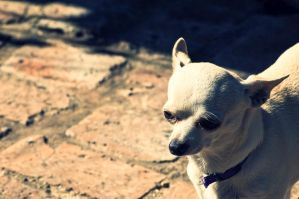 Chihuahua Stare by 3hanphoto