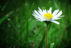 daisy by broens