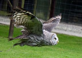 Great Grey owl in flight 2 by Steve-FraserUK