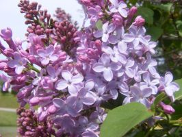 my beautiful lilacs by BlueIvyViolet