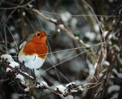 Winter Robin by Gerard1972