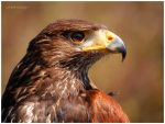 Harris Hawk by KonikPolski