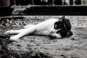 Cat Glare B/W by JoseAvilaPhotography