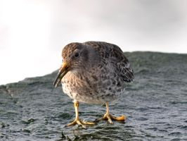Purple Sandpiper 03 by nordfold
