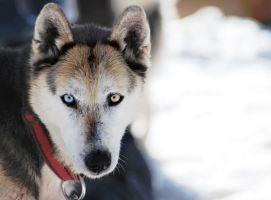 Huskey by Oma-Thule