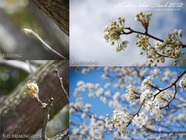 Pear Tree phases by christi-chan