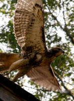 Baby Red Tail Hawk by booberryeyes